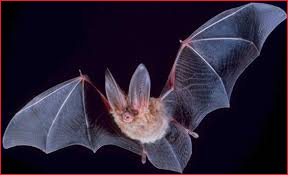 Tiffin Wildlife Animal Removal Bats Photo