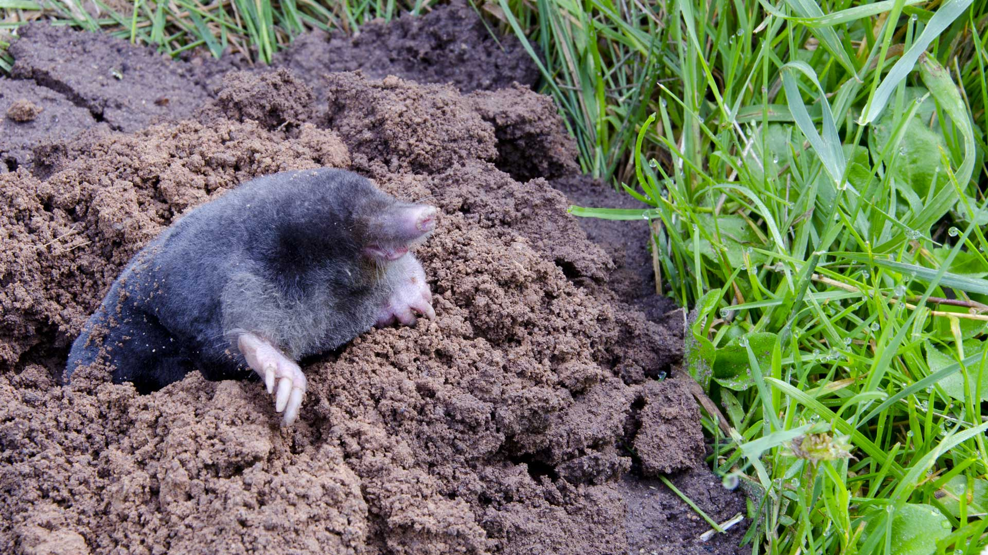 Columbus Mole Removal Of Ohio Directory Of Ohio Wildlife