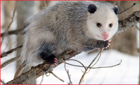 Toledo Wildlife Animal Removal Opossum Photo