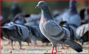 Toledo Wildlife Animal Removal Pigeon Photo