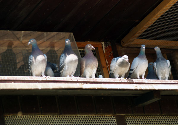 Pigeons can leave a mess all over your roof.