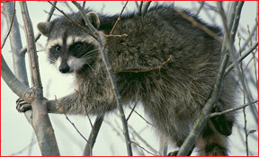 Toledo Wildlife Animal Removal Raccoon Photo