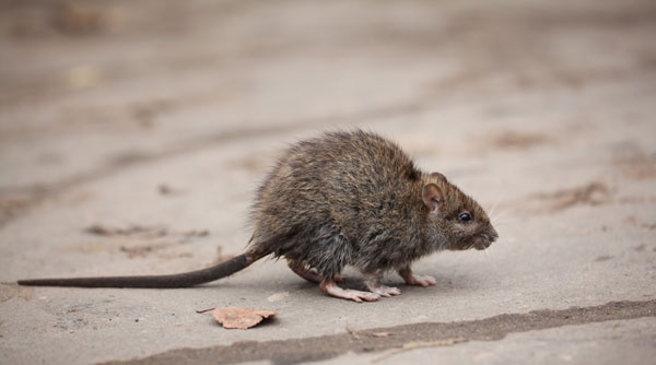Buckeye can handle any of your rat - and mouse - problem that exists in your home or business.