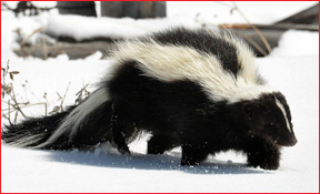 Tiffin Wildlife Animal Removal Skunk Photo