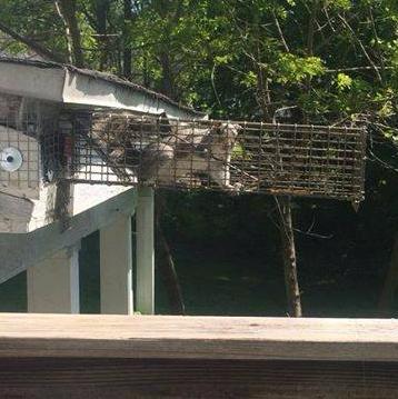 Caged grey squirrel