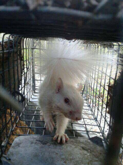 Caged White Squirrel