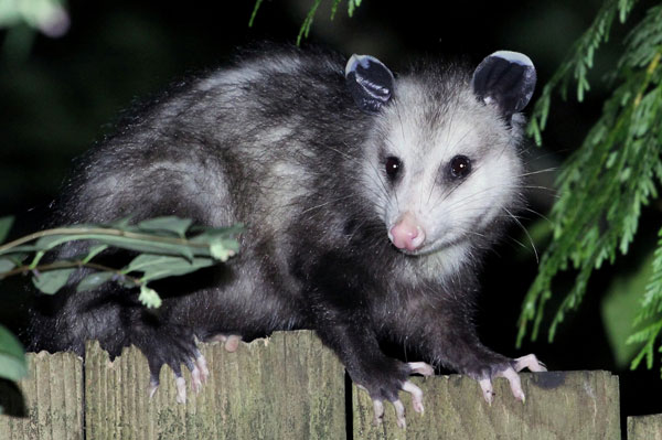 Photo: Opossum on fence in backyard at Page for Buckeye Wildlife Solutions