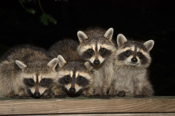 Photo: Raccoons in backyard for Advanced Wildlife Management Mason Wildlife Animal Removal page