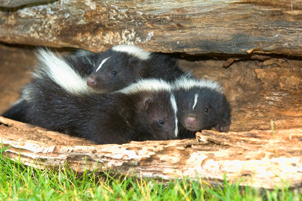 Photo: Skunks in yard at Columbus Wildlife Animal Removal Page for Buckeye Wildlife Solutions