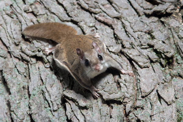 Photo: Flying Squirrel On Tree at the Mason Wildlife Animal Removal web page