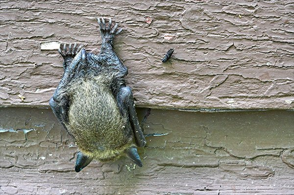 Photo: Bat on house for Barnes Miamisburg Wildlife Removal Page