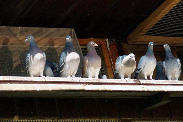 Photo: Birds on roof for Barnes Kettering Wildlife Removal Page