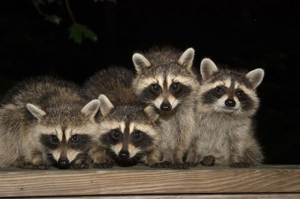 Photo: Raccoons in backyard