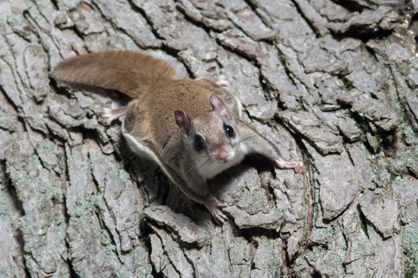 Photo: Flying Squirrel  for Barnes Kettering Wildlife Removal Page